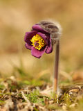 Pasque Flower na luz da manhã Imagens de Stock Royalty Free