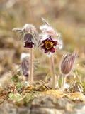 Pasque Flower na luz da manhã Foto de Stock