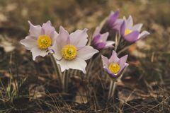 Pasque-flower in nature royalty free stock image