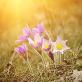 Pasque-flower in nature Stock Photo