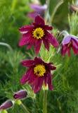 Pasque flower (or pasqueflower), wind flower, prairie crocus, Ea Stock Photography