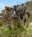 Pasque Flower pequeno, pratensis do Pulsatilla Imagem de Stock Royalty Free