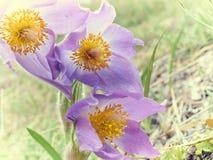 Pasque Flower, primeira flor da mola Fotografia de Stock