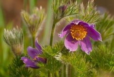 Pasque-flower Royalty Free Stock Photography