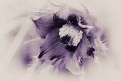 Pasque Flower - Pulsatilla gemein - purpurrote Tönung Lizenzfreies Stockbild