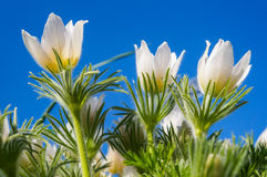 Pasque flower Pulsatilla patens against the blue spring sky. Stock Photography