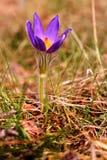 Pasque Flower (Pulsatilla patens) Stock Photography