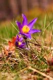 Pasque Flower (Pulsatilla patens) Stock Photos