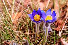 Pasque Flower (Pulsatilla patens) Royalty Free Stock Photography