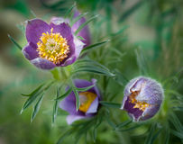 Pasque Flower (Pulsatilla patens) Blooms Stock Image