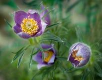 Pasque Flower (Pulsatilla patens) Blooms Stock Image