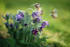 Pasque Flower (Pulsatilla patens). Blooms - three flowers Stock Images