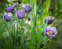 Pasque Flower (Pulsatilla patens) Group Royalty Free Stock Image