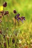 Pasque Flower Pulsatilla patens. Blooms Stock Image