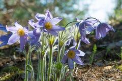 Pasque flower, Pulsatilla patens. Pasque Flowers (Pulsatilla pat Stock Image