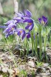 Pasque flower, Pulsatilla patens. Pasqueflowers (Pulsatilla pate Royalty Free Stock Image