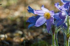 Pasque flower, Pulsatilla patens. Pasqueflowers (Pulsatilla pate Stock Images