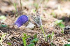 Pasque flower, Pulsatilla patens. Pasqueflowers (Pulsatilla pate Stock Photos
