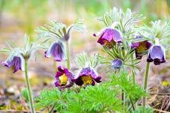 Pasque flower (pulsatilla) after rain Stock Photography