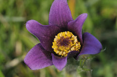 Pasque Flower - Pulsatilla vulgaris Royalty Free Stock Image