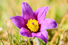 Pasque flower (Pulsatilla vulgaris) Stock Image