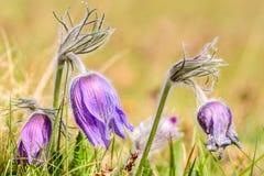 Pasque flower (Pulsatilla vulgaris) Royalty Free Stock Photography