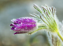 Pasque flower-Pulsatilla vulgaris Royalty Free Stock Photo