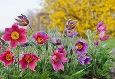 Pasque Flower,(Pulsatilla vulgaris) Royalty Free Stock Images