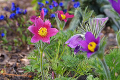Pasque flower or pulsatilla vulgaris. In spring Royalty Free Stock Image