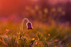 Pasque flower in purple light Stock Images