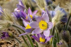 Pasque flower Royalty Free Stock Photos