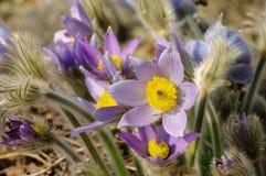 Pasque flower Royalty Free Stock Photos