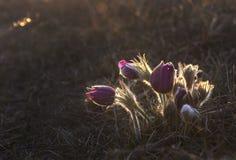 Pasque Flower que florece en la puesta del sol foto de archivo