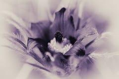 Pasque Flower - Schwarzweiss - purpurrote Tönung Stockfoto
