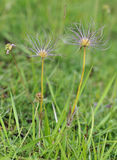 Pasque Flower Seed heads Royalty Free Stock Images