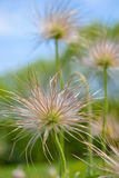 Pasque flower seeds Royalty Free Stock Photography