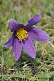 Pasque Flower Royalty Free Stock Images