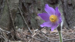 Pasque-flower stock footage