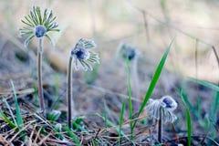 Pasque Flower som blommar på vårängen - Pulsatilla Suddig naturlig bakgrund för bot bostonian royaltyfri bild
