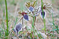 Pasque Flower som blommar på vårängen - Pulsatilla Suddig naturlig bakgrund för bot bostonian royaltyfri fotografi