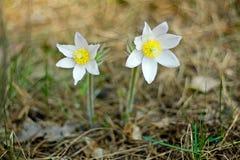 Pasque Flower som blommar på vårängen - Pulsatilla Suddig naturlig bakgrund för bot bostonian arkivfoto