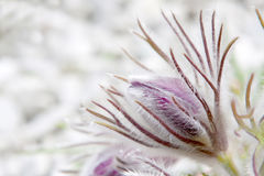 Pasque flower Stock Photography