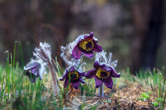 Pasque-flower Royalty Free Stock Photos