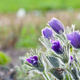 Pasque flower in a sunny day in early spring Royalty Free Stock Photo