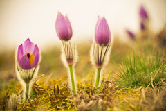 Pasque Flower at sunrise. Closeup. Royalty Free Stock Photography