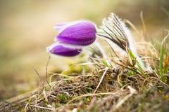 Pasque Flower at sunrise. Closeup. Stock Photos