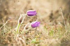 Pasque Flower at sunrise. Closeup. Stock Image