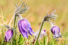 Pasque Flower (vulgaris Pulsatilla) royalty-vrije stock fotografie