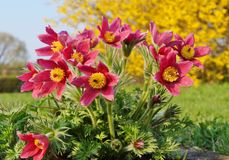 Pasque Flower, (vulgaris Pulsatilla) Stock Afbeelding