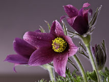 Pasque Flowers Royalty Free Stock Photography